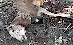 Thumbnail image for Flying chupacabra kills 35 sheep in Michoacan (three videos)