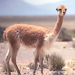 Thumbnail image for Inca round-up of vicuña to gather 'The Gold of the Andes' (video)