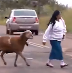 Thumbnail image for When goats attack, it's no laughing matter!  Well, actually… (video)