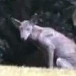 Thumbnail image for Was El Chupacabra spotted in Picayune, Mississippi? (video)