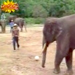 Thumbnail image for 'Mexican Elephant' loves futbol, so TGIF and  'Shabbat Shalom' (video)