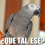 Thumbnail image for Pocho Ocho top new Spanish phrases learned by Nigel the Parrot