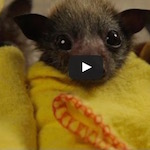 Thumbnail image for In Australia, they make burritos with baby bats  (video)