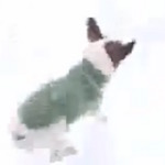 Thumbnail image for Watch: Teeny Chihuahua has first encounter with European snow