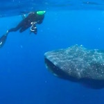 Thumbnail image for Who lives in a piña under the sea? Whale sharks, giant mantas (videos)